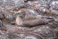 Blue Footed Booby in nature - Galapagos - Ecuador Royalty Free Stock Photos