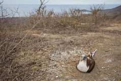 Blue-footed booby nesting Royalty Free Stock Images