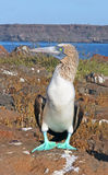 Blue- Footed Booby Stock Image