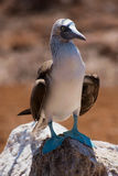 Blue-Footed Booby Royalty Free Stock Photos