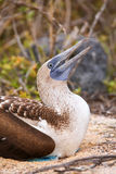 Blue-footed Booby on North Seymour Island, Galapagos National Pa Stock Images