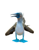 Blue-footed booby over white background Stock Photography