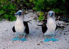 Blue-footed booby pair 2 stock photo