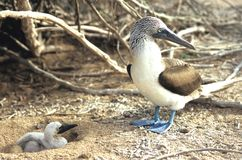 Blue Footed Booby – Parent and Chick Stock Photos