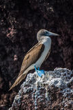Blue-footed booby perched on rock with guano Royalty Free Stock Photos