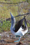 Blue Footed Booby Performing Mating Dance Stock Photos