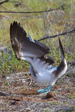 Blue Footed Booby Performing Mating Dance Royalty Free Stock Photo
