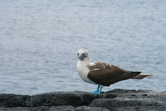 Blue-footed Booby Royalty Free Stock Images