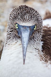 Blue-footed booby portrait Royalty Free Stock Image