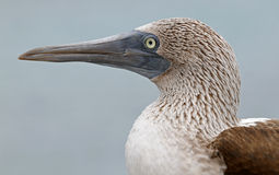 Blue-footed booby portrait. Galapagos blue-footed booby portrait Royalty Free Stock Photos