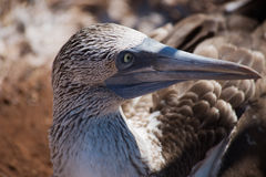 Blue-Footed Booby Royalty Free Stock Photography