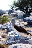 Blue-Footed Booby Poses Royalty Free Stock Photos