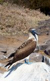 Blue-Footed Booby Poses on a Rock Royalty Free Stock Images