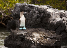 Blue Footed Booby On Rock Stock Photography