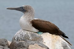 Blue-footed booby on the rock Stock Image