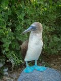 Blue Footed Booby Rock