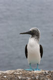 Blue-footed Booby on the sea Royalty Free Stock Photography
