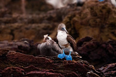 Blue-Footed Booby Stock Image