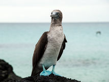 Blue footed booby on Galapagos Island Stock Photo