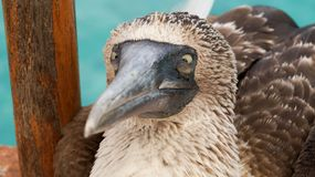 Blue footed booby, Galapagos Islands. Blue footed booby stare, Galapagos Islands stock image