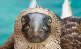 Blue footed booby stare. This Blue footed booby stared right at me! You can only see these guys at the Galapagos Islands stock photo
