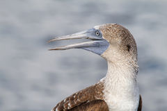 Blue-footed Booby (Sula nebouxii) Stock Image