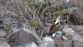 Blue-footed Booby, Sula nebouxii, in the Galapagos stock footage