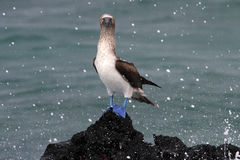 Blue footed booby, sula nebouxii, Galapagos Stock Image