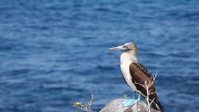 A Blue-footed Booby, Sula nebouxii, in the Galapagos Islands stock footage