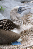 Blue-footed Booby (Sula nebouxii) Stock Images