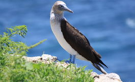 Blue-footed booby (Sula nebouxii) Royalty Free Stock Photos
