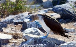 Blue-Footed Booby taking a stroll Royalty Free Stock Photos