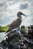 Blue-footed booby on volcanic rock beside sea Royalty Free Stock Images