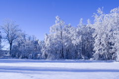 Blue forest. Blue winter forest royalty free stock photo