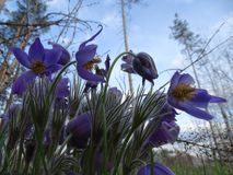 Blue forest bells on the background of the forest and sky. stock photos