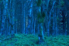 Blue forest at dawn in nature area Eifel Stock Image