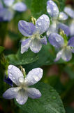 Blue forest flower dew. Closeup on two flowers Stock Photo