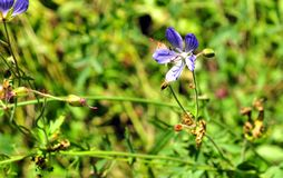 Blue forest flower in green grass Stock Photography