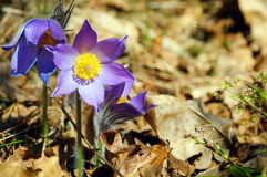 Blue forest flowers Royalty Free Stock Images