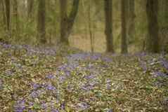 Blue forest flowers (Hepatica) and pine trees (pinus) Stock Photo