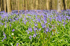Blue forest Hallerbos Stock Images