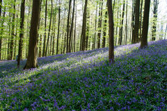 The Blue Forest Hallerbos in Brussels Belgium during spring. Blue wild flowers and beech trees. Sun and shade. stock photo