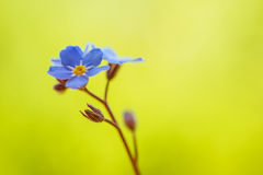 Blue forget-me-grow. Beautiful blue forget-me-grow in spring city park Stock Image