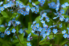 Blue forget me not blossoms in spring Stock Photography