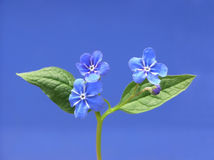 Blue forget-me-not Stock Images