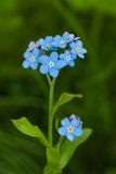 Blue forget-me-not Stock Image