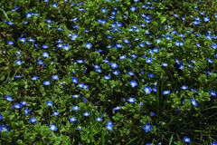 Blue forget-me-not blooming Royalty Free Stock Image