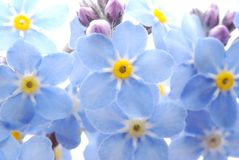 Blue Forget me not flower Royalty Free Stock Photo