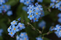 Blue forget-me-not flower. Detail of blue forget-me-not flower stock photos