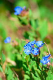 Blue forget-me-not flowers Royalty Free Stock Photo